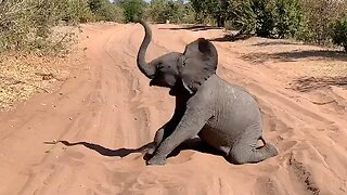 Baby elephant bring safari to standstill by rolling around in sand