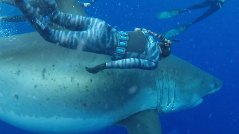 Deep Blue Great White Shark Spotted Again off Coast of Hawaii