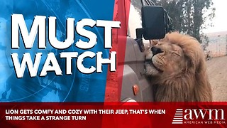 Lion Gets Comfy And Cozy With Their Jeep, That's When Things Take A Strange Turn - Video