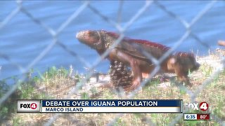 Island's booming iguana population prompts more funding for trapping, removal