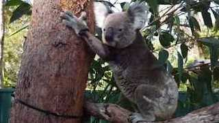 Old Koala Tries to Climb Tree After 9 Weeks of Recovery and Acupuncture - Video