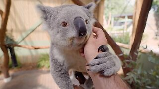 Koala-ity Kuddles! World's Most Chilled-out Koala Loves To Be Pampered