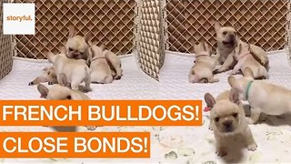 Family of French Bulldogs Cuddle and Play - Video