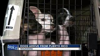 HAWS rescues dogs from Hurricane Maria devastation - Video