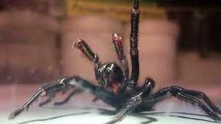Australian Reptile Park Receives Giant Funnel Web Spider - Video
