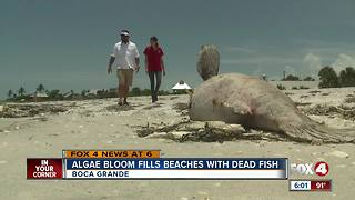 Dead manatees, turtles, hundreds of fish on Boca Grande - Video
