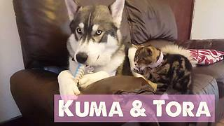 Husky and kitten are the very best of friends - Video