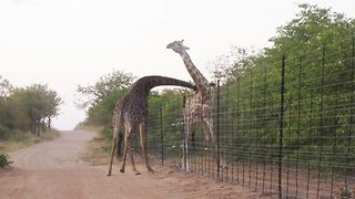 Giraffes battle over ten-foot fence - Video