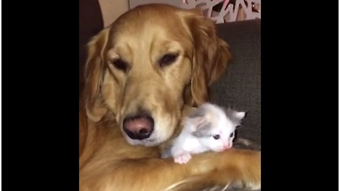 Golden Retriever absolutely loves newborn kitten addition