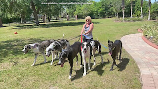 Five Fabulous Great Danes Go For A Florida Pack Walk
