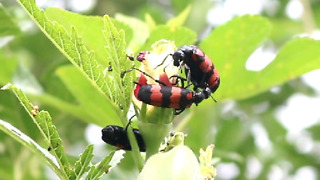 Amazing Fight between Flying bugs for Food on Ladyfinger's Flower  - Video