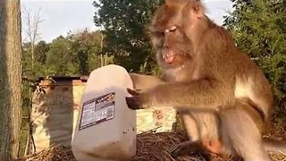 Monkey Gets Treated With Some Chocolate Milk