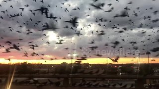 'Bird-pocalypse' takes over the skies on a Texas highway