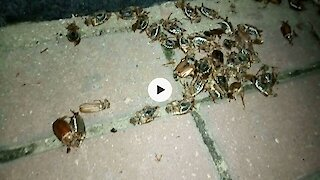 Many many european chafers (June bugs) ..