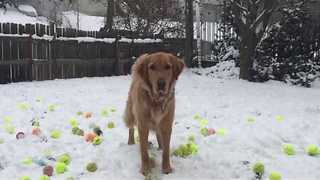 Golden Retriever Has 185 Tennis Balls Dropped Into Snow-Covered Garden - Video