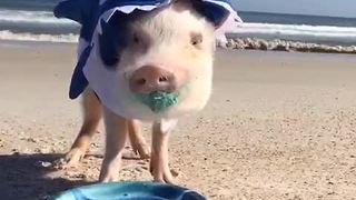 Piglet Celebrates His Second Birthday As A Shark On The Beach - Video