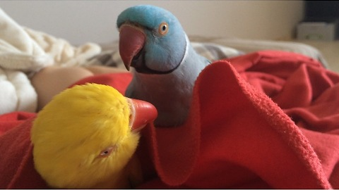 Selfish parrot refuses to let friend take nap
