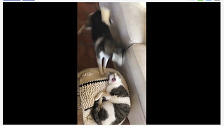 Dog hilariously wakes up cat to play with her - Video