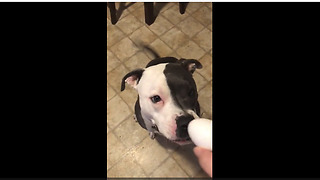 Pit Bull's hilarious egg challenge turns out successful