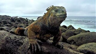 Prehistoric diving marine iguanas look like mini Godzillas