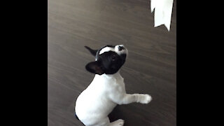 French Bulldog Puppy Playing - Cutest Thing ever