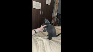 Kitten assault
