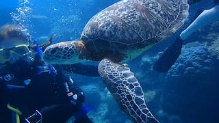 Scuba Divers Spend A Whale Of Time Feeding Sea Turtle - Video