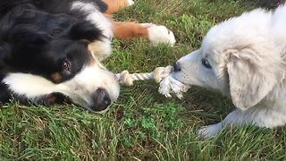 Bernese Mountain Dog effortlessly wins tug-of-war against puppy
