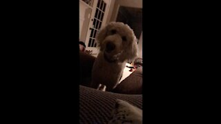 Cute dog tilts her head at funny noises