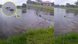 Escape from the jaws of death! Terrifying moment alligator pops up just inches from dog swimming in Hurricane Irma floodwaters - Video
