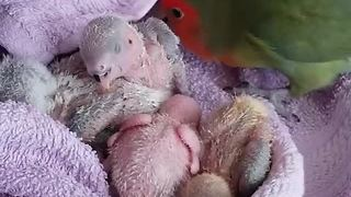 Mama parrot takes care of her babies