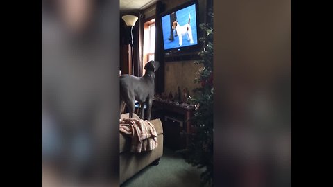 This Dog is Watching his Favorite Show – Too Funny!