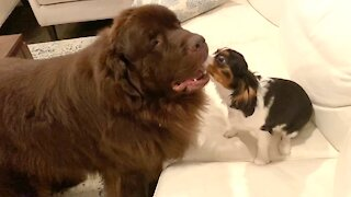 The most unlikely playmates: Giant Newfie and Cavalier puppy