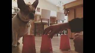 Clever Frenchie Manages to Find Treat in Magic Game Trick - Video