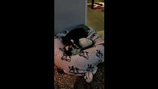 French Bulldog adorably cuddles cat for nap time