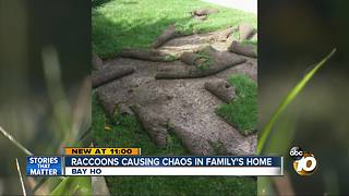 Raccoons causing chaos in family's home - Video