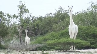Conservation Rangers Discover Rare White Giraffe  - Video