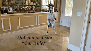 """Bed Bouncing Great Danes' Response To """" Do You Want To Go For A Car Ride? """""""