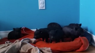 Adorable Baby Pigs Running Through The House! - Video