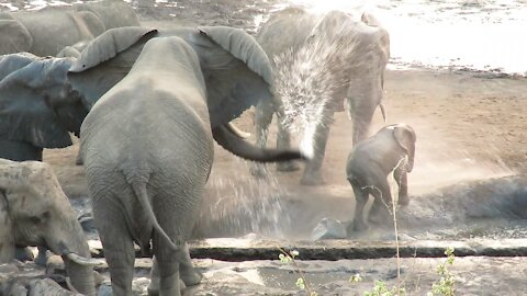 Elephant uses his trunk as a hose to chase baby elephant away from watering hole