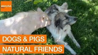 Dogs and Pigs: Natural Best Friends - Video