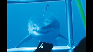Great White Sharks come in close to inspect divers - Video