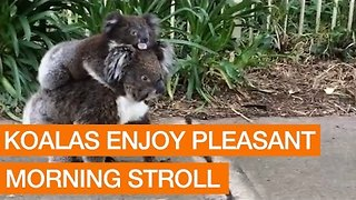 Koala Takes a Morning Stroll Down a Sidewalk With Mother - Video
