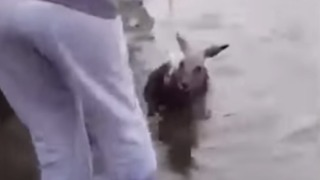 Wet and Bedraggled Kangaroo Rescued From Reservoir - Video