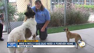 Mike and Molly dog duo looking for forever home - Video