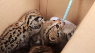 Three starving leopard cubs rescued after being orphaned in rural Thailand