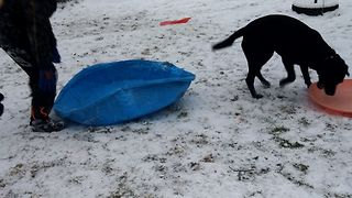 Dog Wants To Go Sledding Too - Video