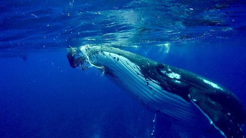 Whale Protects Diver From Shark By Hiding Her Under Its Fin