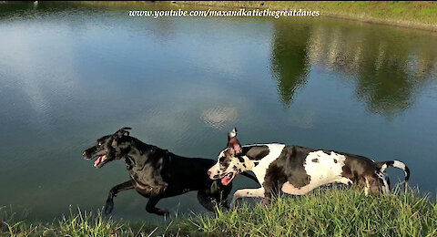 Happy Great Danes Love Racing and Chasing