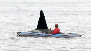 Curious killer whale literally swims beside man in kayak - Video
